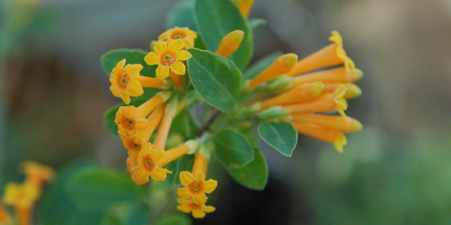 Cestrum aurantiacum - Pépinière Plantes Etc