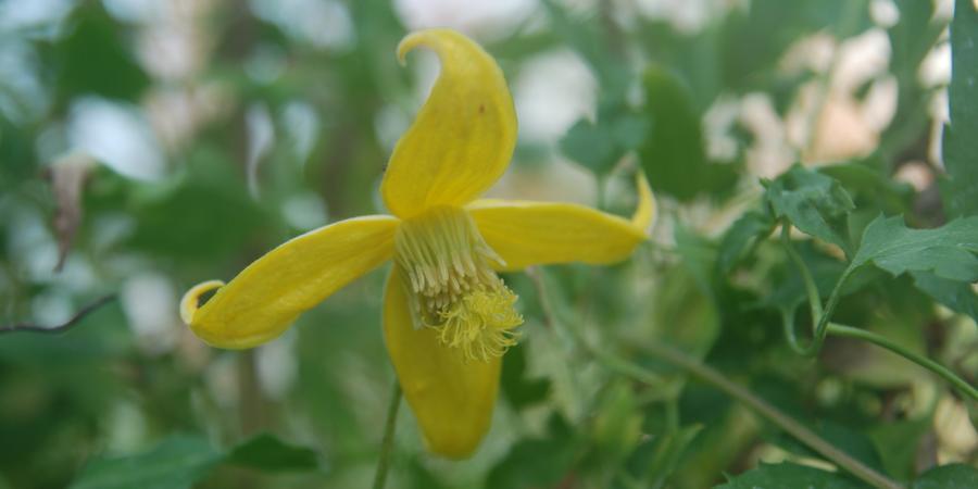 Clematis tangutica