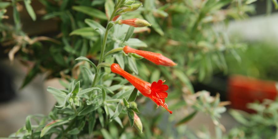 Epilobium canum - Pépinière Plantes Etc