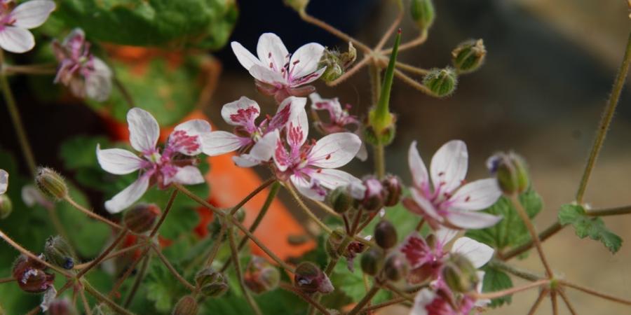 Erodium trifolium - Pépinière Plantes Etc