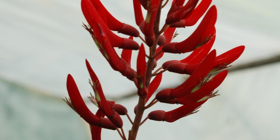 Erythrina x bidwillii