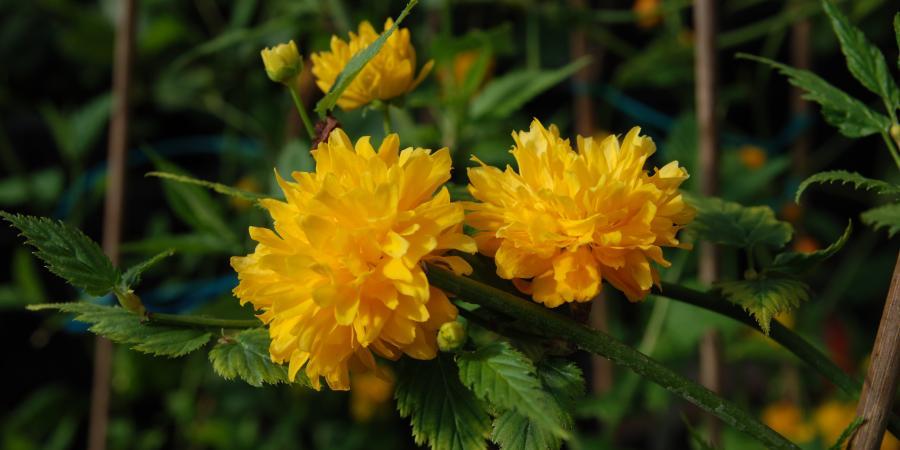 Kerria japonica - Pépinière Plantes Etc