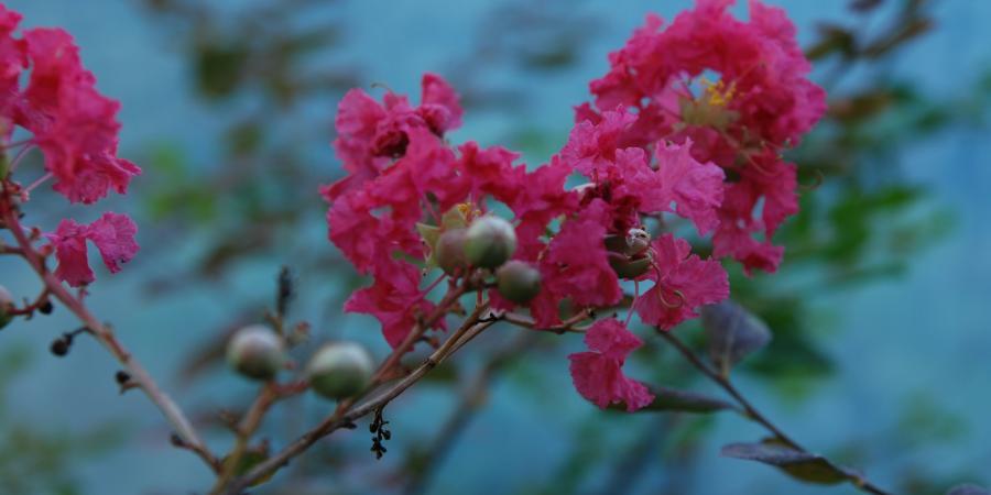 Lagerstroemia indica - rose - Pépinière Plantes Etc