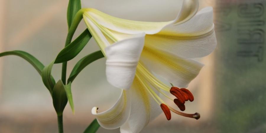 Lilium sargentiae
