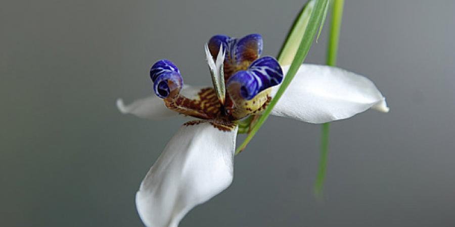 Neomarica gracilis