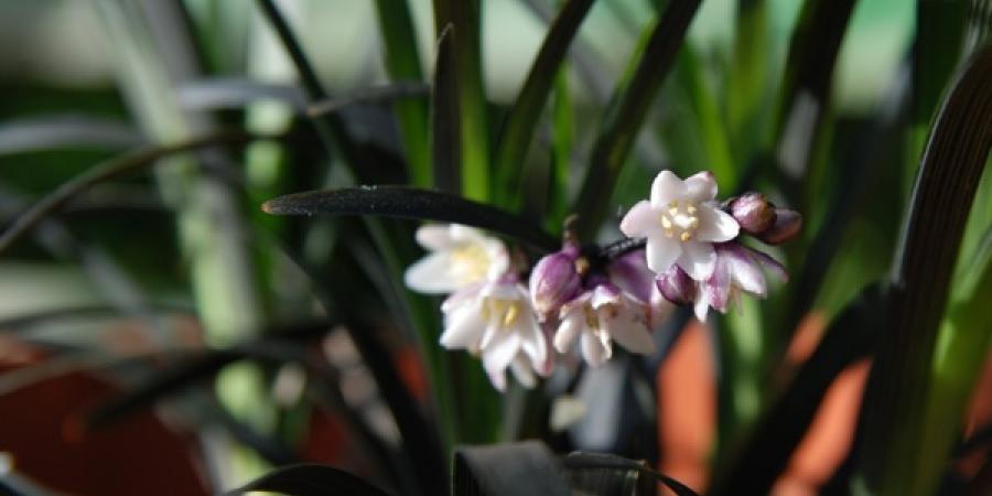 Ophiopogon planiscapus nigrescens