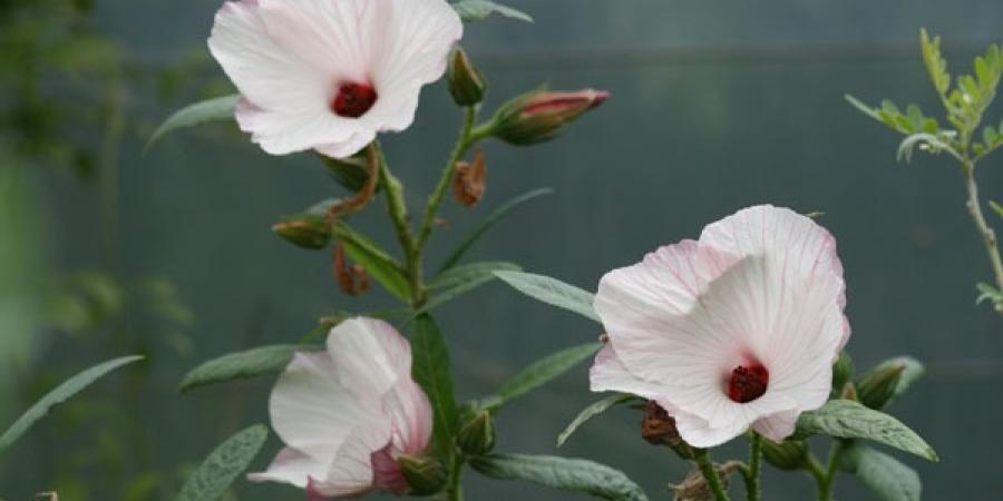 Pavonia hastata - Pépinière Plantes Etc