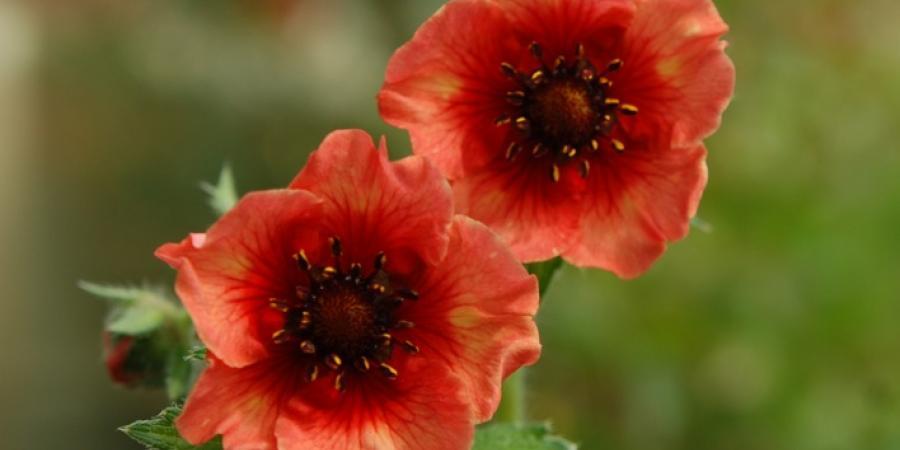 Potentilla nepalensis - Pépinière Plantes Etc