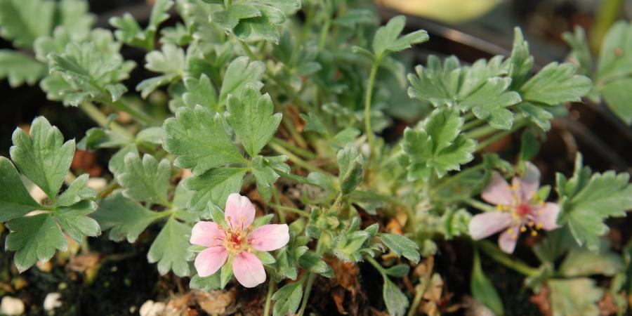 Potentilla porphyrantha - Pépinière Plantes Etc