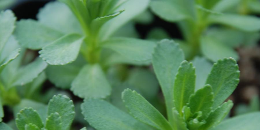 Sedum aizoon - Pépinière Plantes Etc