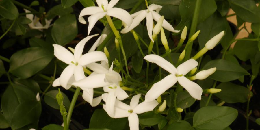Jasminum azoricum - Pépinière Plantes Etc