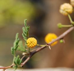 Acacia farnesiana-fleur