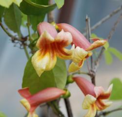 Bignonia capreolata - Pépinière Plantes Etc