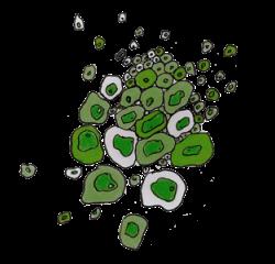 Cestrum nocturnum  - Pépinière Plantes Etc