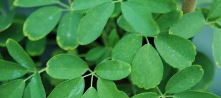 Akebia quinata - Pépinière Plantes Etc