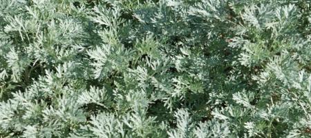 Artemisia absinthium - Pépinière Plantes Etc