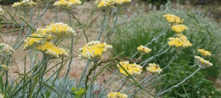 Helichrysum orientale - Immortelle d'Orient - Pépinière Plantes Etc