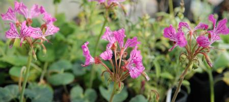 Pelargonium endlicherianum - Plantes Etc