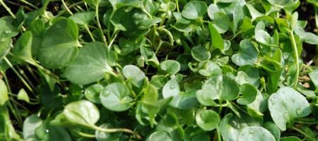 Dichondra repens - Pépinière Plantes Etc