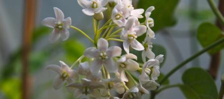 Dregea sinensis - Pépinière Plantes Etc