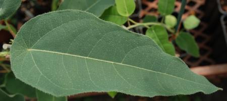 Eucalyptus citriodora - Pépinière Plantes Etc