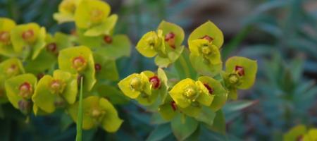 Euphorbia rigida - Pépinière Plantes Etc