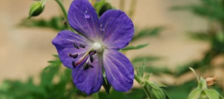 Geranium pratense - Pépinière Plantes Etc