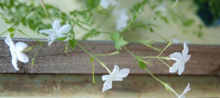 Jasminum grandiflorum - Pépinière Plantes Etc