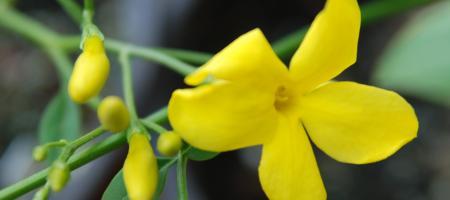 Jasminum humile var.revolutum - Pépinière Plantes Etc