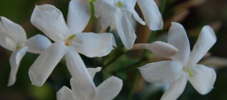 Jasminum polyanthum - Pépinière Plantes Etc