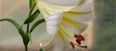 Lilium sargentiae - Pépinière Plantes Etc