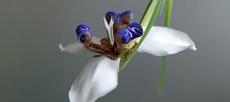 Neomarica gracilis - Pépinière Plantes Etc