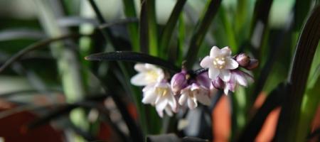 Ophiopogon planiscapus nigrescens - Pépinière Plantes Etc