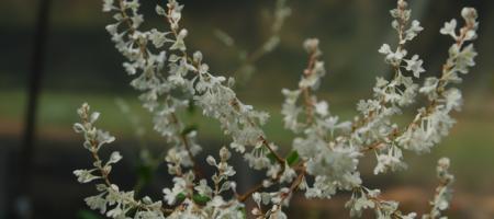 Polygonum aubertii - Pépinière Plantes Etc