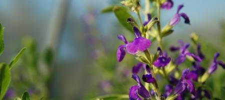 Salvia lycioides - Pépinière Plantes Etc
