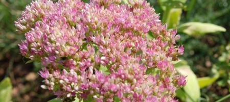 Sedum spectabile - Pépinière Plantes Etc