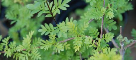 Syringa x persica - Pépinière Plantes Etc