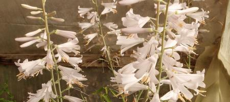 Notholirion thomsonianum - Pépinière Plantes Etc