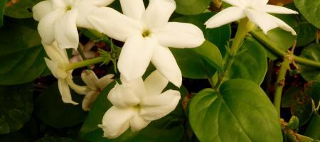 Jasminum sambac - Pépinière Plantes Etc