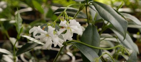 Trachelospermum jasminoides - Pépinière Plantes Etc