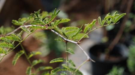 Acacia farnesiana - Pépinière Plantes Etc