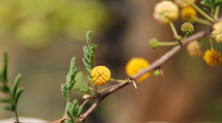 Acacia farnesiana-fleur - Pépinière Plantes Etc