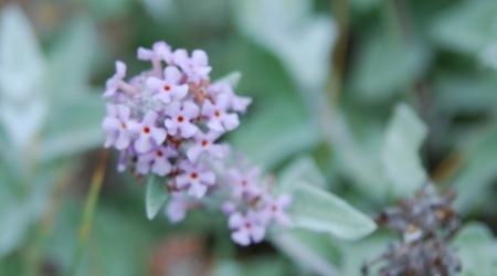 Buddleja crispa - Pépinière Plantes Etc