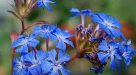Ceratostigma griffithii - Pépinière Plantes Etc