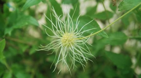 Clematis tangutica-pompon - Pépinière Plantes Etc