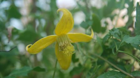 Clematis tangutica - Pépinière Plantes Etc