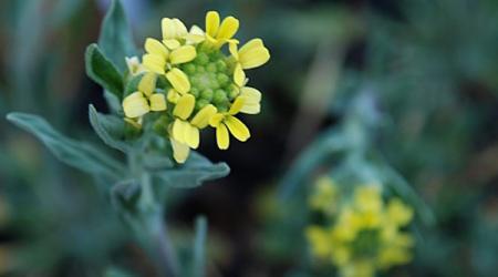 Fibigia clypeata - Pépinière Plantes Etc