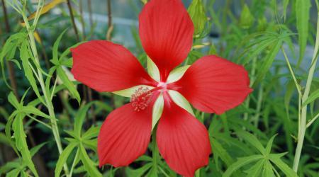 Hibiscus coccineus - Pépinière Plantes Etc