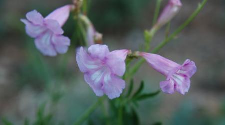 Incarvillea olgae - Pépinière Plantes Etc