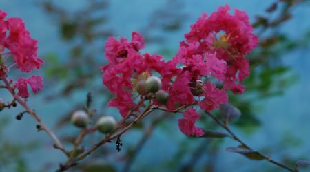 Lagerstroemia indica - rose